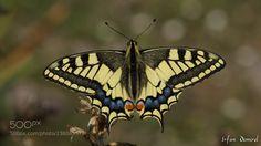 Papilio machaon (İrfan Demirel / karşıyaka / Türkiye) #SLT-A57 #macro #photo #insect #nature