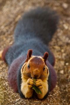 Giant purple Indian squirrel.
