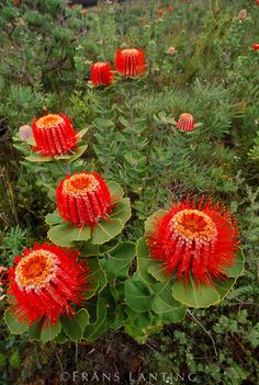 Scarlet Banksia flowers (Banksia coccinea), Fitzgerald River National Park, Australia - photo by Frans Lanting Beautiful Flowers, Plants, Planting Flowers, Unusual Flowers, Amazing Flowers, Flowers, Unusual Plants, Rare Flowers, Australian Flowers