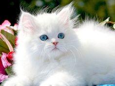 Persian cat breeds info, Temperament, kitten names, Price