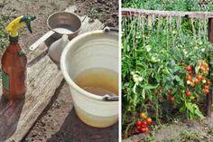 Nu sunt un gradinar foarte preiceput,insa de cand mi-am cultivat legumele in gradina, am decis sa nu mai utilizez chimicale pentru a le fertiliza. Incerc sa pun pe masa numai mancaruri natural. De curand ,am primit un sfat care consta … Continuă citirea →