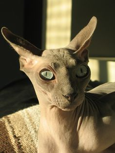 Sphynx cat. I. Want. One. Please.
