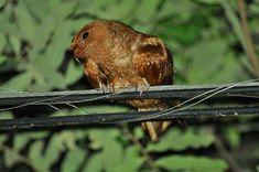 Foto guácharo (Steatornis caripensis) por Robson Czaban   Wiki Aves - A Enciclopédia das Aves do Brasil