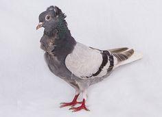 Miski Güvercini