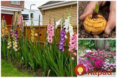 Tieto kvety vás budú tešiť celú sezónu. Prekonajú chladnejšie jarné dni, ostré lúče slnka a k spánku sa uložia až s poslednými lúčmi leta – na jeseň. Sú nenáročné na starostlivosť a niektoré z nich – napríklad taký nechtík či levanduľa.sú aj veľmi prospešné.