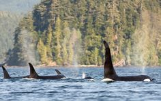 Orca Dreams is Canada's first whale watching luxury base camp. The camp is located on a remote island off the north inner coast of Vancouver Island, a place famous for its large concentration…