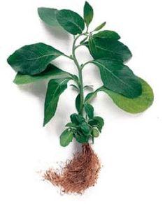 3 herbs to keep your mind sharp - studies