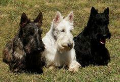 Analise De Cães: Scottish Terrier
