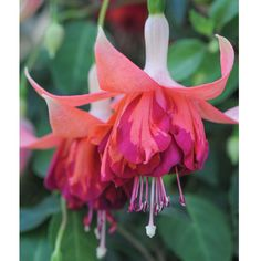 Fuchsia 'Giants Bicentennial' from Thompson & Morgan - experts in the garden since 1855 Fuchsia Plant, Fuchsia Flower, Garden Plants, House Plants, Shade Garden, Exotic Flowers, Beautiful Flowers, Biennial Plants, Hardy Perennials