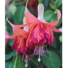 Fuchsia 'Giants Bicentennial' - Perennial & Biennial Plants - Thompson & Morgan
