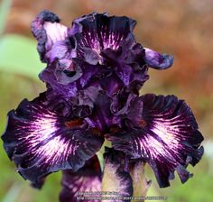 Flower Garden Photo of Tall Bearded Iris (Iris 'Dancing in the Dark') uploaded by - Iris Flowers, Types Of Flowers, Exotic Flowers, Amazing Flowers, Purple Flowers, Planting Flowers, Beautiful Flowers, Iris Garden, Lawn And Garden