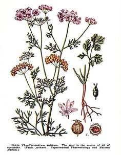 KORIANDER    een kruid en specerij van elders Botanical Art, Cilantro, Rooster, Herbalism, Google, Artwork, Image, Vegetables Garden, Plants
