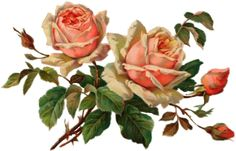 Peach pink colored roses