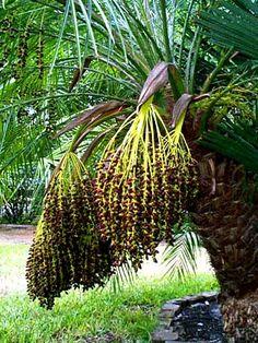 Pygmy Date Palm Tree (Phoenix roebelenii)