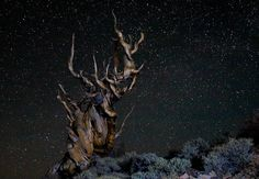 Starry Night in the Ancient Bristlecone Forest