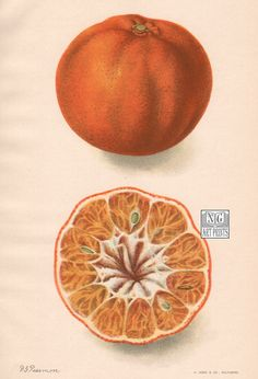 Over 110 years-old, this original antique citrus print is from the USDA's Division of Pomology. Established in 1886 to collect and disseminate Fruit Orange, Orange Art, Orange Color, Antique Illustration, Botanical Illustration, Garden Drawing, Fruit Print, Fruit In Season, Botanical Prints