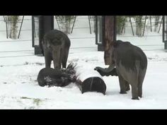Elephant calf Lily makes the most of a slushy day - YouTube