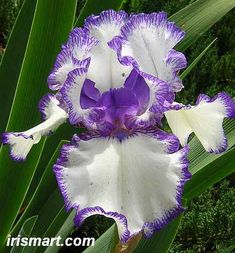 Rare Treat tall bearded irises
