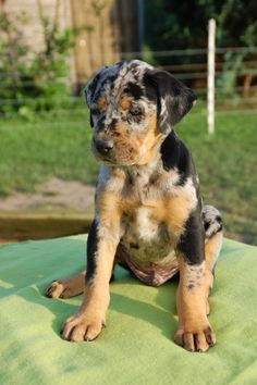 Aragon - Louisiana Catahoula dog, I bet this is what Marley looked like.