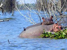 Kenia virtahepo Hippopotamus, Africa, Animals, Kenya, Animales, Animaux, Animal, Animais