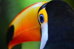 Toucan at Foz do Iguaçú by Geraldo Vieira - Photo 77980917 - 500px