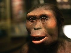 Lucy is the common name of AL several hundred pieces of bone fossils representing 40 percent of the skeleton of a female of the hominin species Australopithecus afarensis. Lucy was discovere… Homo Habilis, Early Humans, First Humans, Tarzan, Anthropologie, Human Evolution, Primates, Mammals, People Of The World
