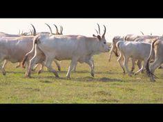 Illmitz Imagefilm - YouTube Nationalparks, Image Film, Austria, Cow, Youtube, Animals, Grey Goose, Types Of Animals, Animales
