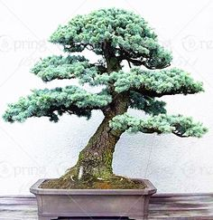Bonsai  88 PCS/BAG JAPANESE CEDAR  Semillas bonsai seeds FOR home decoration ** Offer can be found by clicking the VISIT button