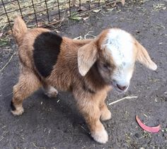Baby goat. Oh My Gosh, I love his coloring!!! I want HIM!!!!!!!