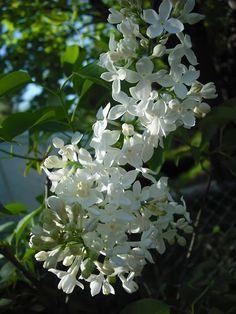 Lilac 'Mount Baker' Syringa