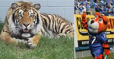 University of Memphis Tigers football mascots, live is Tom III & costumed is Pouncer.