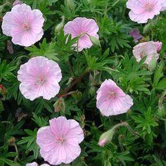 Jungfrunäva  Geranium sanguineum var. striatum  Geraniaceae, näveväxter Lättodlad och tålig perenn som passar fint i torra rabatter. Lik blodnävan men lägre.