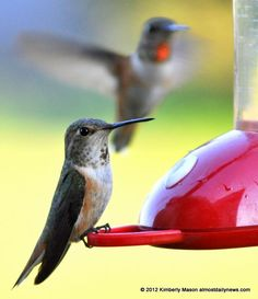 Keep those hummingbird feeders clean! Female Rufous Hummingbirds, Cinebar, WA, May 2012.
