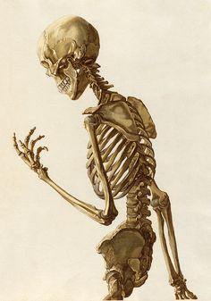 Drawing Anatomy Reference Plate B upper half from Christoph Jacob Trew's Tabulae osteologicae Human Skeleton, Female Skeleton, Skeleton Flower, Mermaid Skeleton, Leaf Skeleton, Human Anatomy Drawing, Anatomy Art, Skull Reference, Skeletons