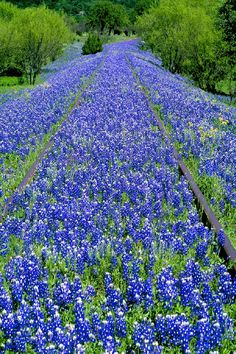 MS-1838.  Texas bluebonnets and railroad tracks, near Austin, Texas - Jim Zuckerman Photography