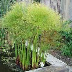 papiro planta en jardines - Buscar con Google