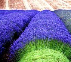 Lavender Munstead 50 seeds Lavandula Angustifolia Munstead * Fragrant CombSH D73