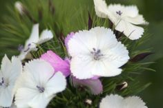 white Sweet William Flower blooms