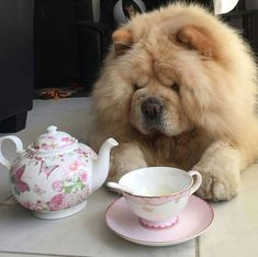 Two of my faves chow chows and tea Zwei meiner Favoriten sind Chow Chow und Tee Fluffy Dogs, Fluffy Animals, Baby Animals, Cute Animals, Chow Chow Dogs, Puppy Chow, Tiny Puppies, Cute Puppies, Tallest Dog
