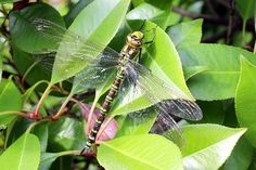 Dragonfly, Insect, Dragonflies Dragonfly Insect, Damselflies, Pictures Images, Dragonflies, Dragons, Insects, Dragon Flies, Kites