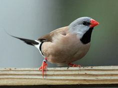 Shaft-tail Finch, Long-tailed Grassfinch, Heck's shaft-tail, Black Heart finch