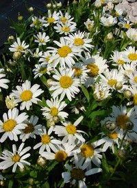 Kerti margitvirág, vegyes színekben, Chrysanthemum (Leucanthemum) fajták