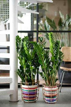 A beautiful stylised shape combined with a spotless reputation: Zamioculcas zamiifolia or ZZ plant leads the field when it comes to 'design by nature'. Planting Seeds, Planting Succulents, Plante Zz, Buy Indoor Plants, Zz Plant, Easy Care Plants, Plant Cuttings, Mother Plant, Low Lights