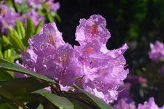 Grandiflora yksi rhodoistamme