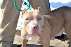 TO BE DESTROYED - 03/14/15 Staten Island Center My name is JADEN. My Animal ID # is A1026686. I am a female brown staffordshire mix. The shelter thinks I am about 3 YEARS old. I came in the shelter as a STRAY on 01/29/2015 from NY 10301, owner surrender reason stated was TOO STRONG. https://www.facebook.com/photo.php?fbid=953677571311789