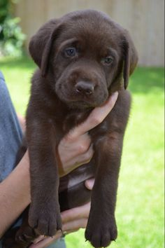 Chocolate lab Puppy..So cute but then they Get BIG..