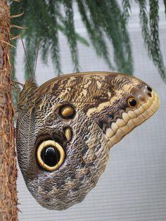 Papillon-chouette