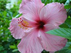 Cinco pétalos rosas