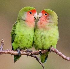 El inseparable de Namibia (Agapornis roseicollis) es una especie de ave psitaciforme de la familia Psittacidae. Es nativo de las regiones áridas del suroeste de África, como el desierto del Namib. Características El Inseparable de Namibia tienen un tamaño de unos 15 cm. El color del cuerpo es, en general, verde. Tienen la cabeza de color rosa asalmonado. La hembra se diferencia del macho en que tiene la cabeza más grande, y sus colores suelen ser más pálidos. Aun así, es muy difícil…