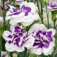 Dianthus Blueberry Cream  Carnation  HardyPerennial  Rare colour  Customer Rating  Truly stunning, Carnation Blueberry Cream produces masses of double, ice white flowers with the most unusual purple-blue centres, above mounds of evergreen foliage. The richly fragrant blooms are perfect for cutting for a vase indoors. A real wow factor for the front of borders or try planting some as pot plants for the home. Height: 50cm (20). Spread: 30cm